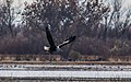 Bald Eagle Escaping With Kill (245824793).jpeg