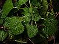 Ballota nigra 110382136.jpg