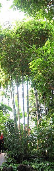 file bambus berlin botanischer wikimedia commons. Black Bedroom Furniture Sets. Home Design Ideas