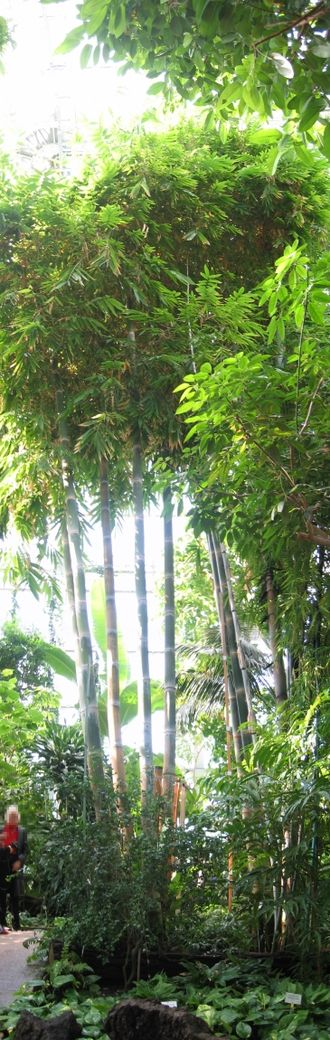 Berlin-Dahlem Botanical Garden and Botanical Museum - Giant bamboo in the Great Pavilion.