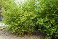 Bambusa multiplex 'Alphonse Karr' - McConnell Arboretum & Botanical Gardens - DSC02982.JPG