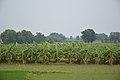 Banana Plantation - Bhaktanagar - Nadia 2017-08-15 2363.JPG