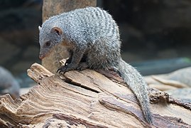 Banded Mongoose in Central Park Zoo.jpg