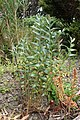 Banksia repens kz03.jpg