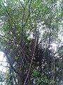 Banyan tree 2.jpg
