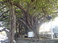 Banyan trees at Terre-Sainte (3049031685).jpg