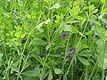 Baptisia australis5.jpg