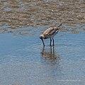 Bar-tailed godwit tidal strand Sandgate Bramble Bay Queensland P1090390.jpg