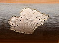 Bark beetle gallery in Fraxinus excelsior.jpg