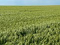 Barley crop, Cornbury Farm, Gore Cross - geograph.org.uk - 452087.jpg