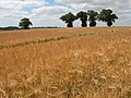 Barley field and trees near White House Farm - geograph.org.uk - 205567.jpg