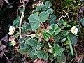 Barren strawberry (Potentilla sterilis) - geograph.org.uk - 1243653.jpg