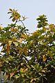 Barringtonia racemosa - Agri-Horticultural Society of India - Alipore - Kolkata 2013-01-05 2249.JPG