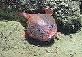 Bathychaunax coloratus.jpg