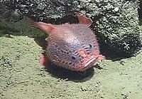 Bathychaunax coloratus