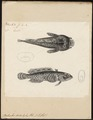 Batrachus didactylus - 1700-1880 - Print - Iconographia Zoologica - Special Collections University of Amsterdam - UBA01 IZ13600175.tif