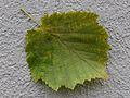 Baum Hasel, Corylus colurna 4.JPG