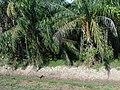 Beaufort, Sabah, Malaysia - panoramio.jpg