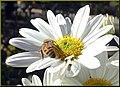 Bee on Daisy 10-26-13 (10561281146).jpg