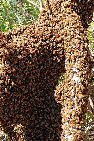 Swarming (honey bee) - Bee swarm of Apis mellifera ligustica on a fallen log