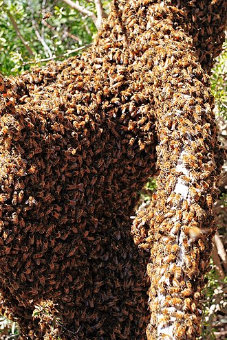Bee learning and communication - Swarming bees require good communication to all congregate in the same place