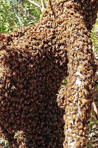 Swarming (honey bee) - Bee swarm of Apis mellifera ligustica on a fallen log