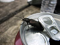 Beetle on soda.jpg