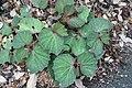 Begonia Morocco 2zz.jpg