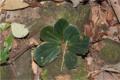 Begonia blancii01.png