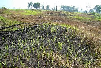 Shifting cultivation - Shifting cultivation in Indonesia. A new crop is sprouting through the burnt soil.