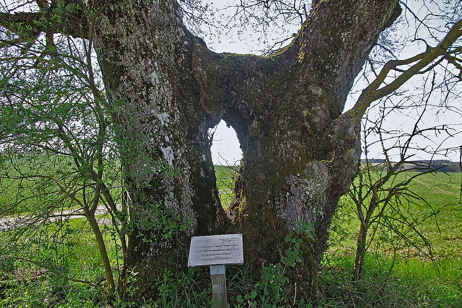 An elm and an ash tree grow together near Beneuvre.