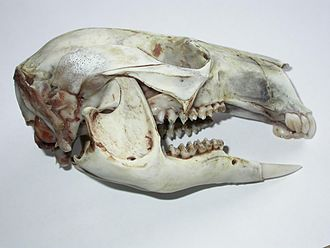 Macropodidae - Bennett's wallaby skull