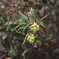 Berberis chilensis of the Berberidaceae (8407324676).jpg