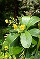 Berberis hispanica kz02.jpg