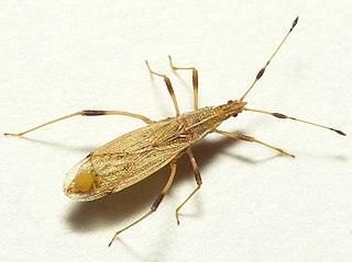 <i>Berytinus</i> genus of insects