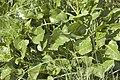 Beta vulgaris subsp. maritima.jpg
