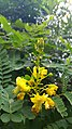 Biancaea sappan flowers 2.jpg