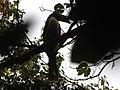 Bird White-throated Brown Hornbill Anorrhinus austeni IMG 9075 13.jpg