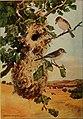 Bird lore (1909) (14732639446).jpg