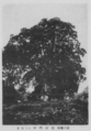 Bishamon Sugi at Kitahannya.png