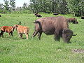 Bison herd grazing.JPG