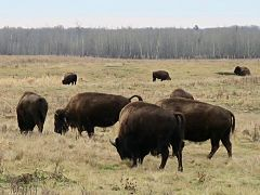 Bison in Elk Island National Park 02.jpg
