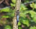Black-Tailed Skimmer (Orthetrum cancellatum), male.jpg