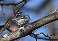 Black-and-white Warbler (documentation photos) (31406911837).jpg