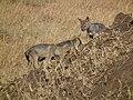 Black-backed Jackal Canis mesomelas in Tanzania 3513 Nevit.jpg