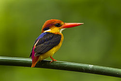 Black-backed Kingfisher - Thailand S4E4286 (16317946515).jpg