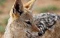 Black-backed jackal, Canis mesomelas, at Pilanesberg National Park, South Afric (17313522611).jpg