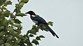 Black-billed Magpie (Pica hudsonia) - Saskatoon, Saskatchewan 01.jpg