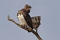 Black-chested snake eagle (Circaetus pectoralis) at Pilanesberg National Park, South Africa. (29993450317).jpg