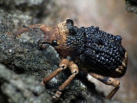 Black Brown Weevil.jpg